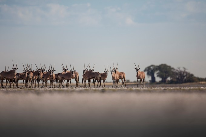 64+GEMSBOK+(AKA+ORYX)+AND+BAOBABS+(SIGNIFICANT+TREES+TO+RIGHT+OF+IMAGE),+NXAI+PAN,+BOTSWANA,+COLOUR (1)