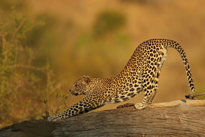 74+YOUNG+FEMALE+LEOPARD,+KRUGER+NATIONAL+PARK,+SOUTH+AFRICA (1)