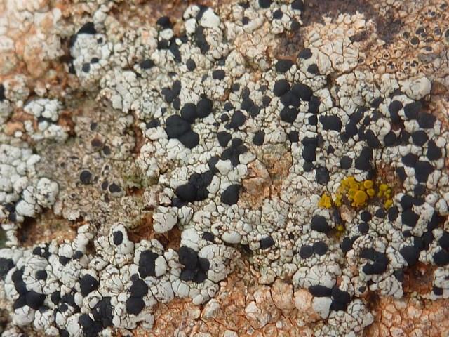 lichen sur rocher 2