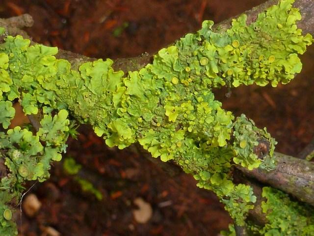 lichen sur bois