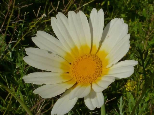 Chrysanthème couronné