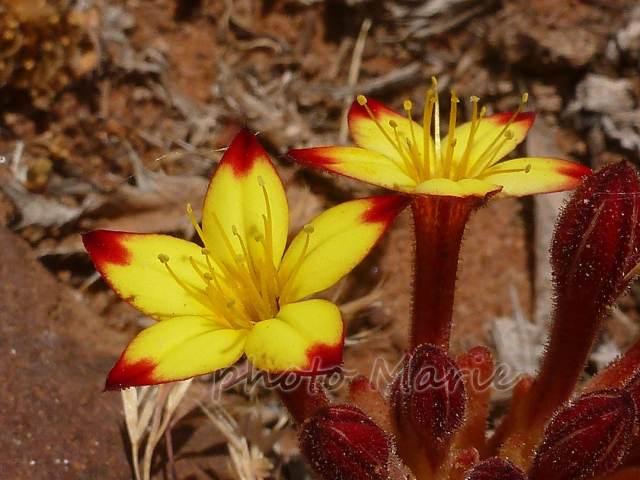 pistorinia breviflora