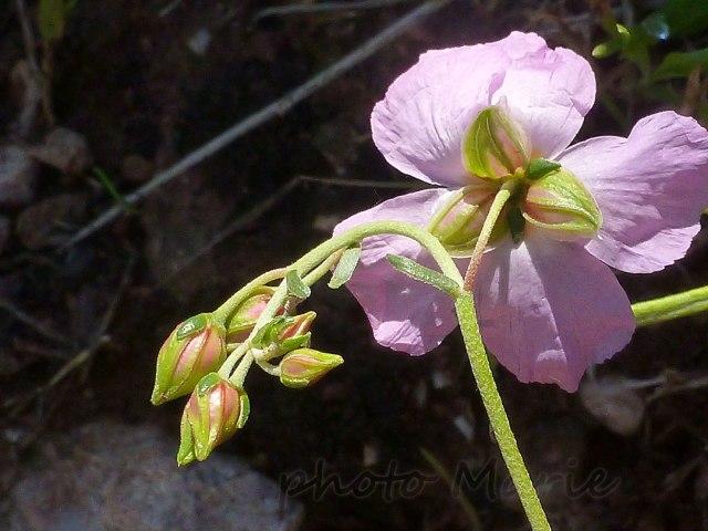 Hélianthème rose