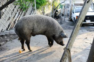 Charle the Pig in L.A.