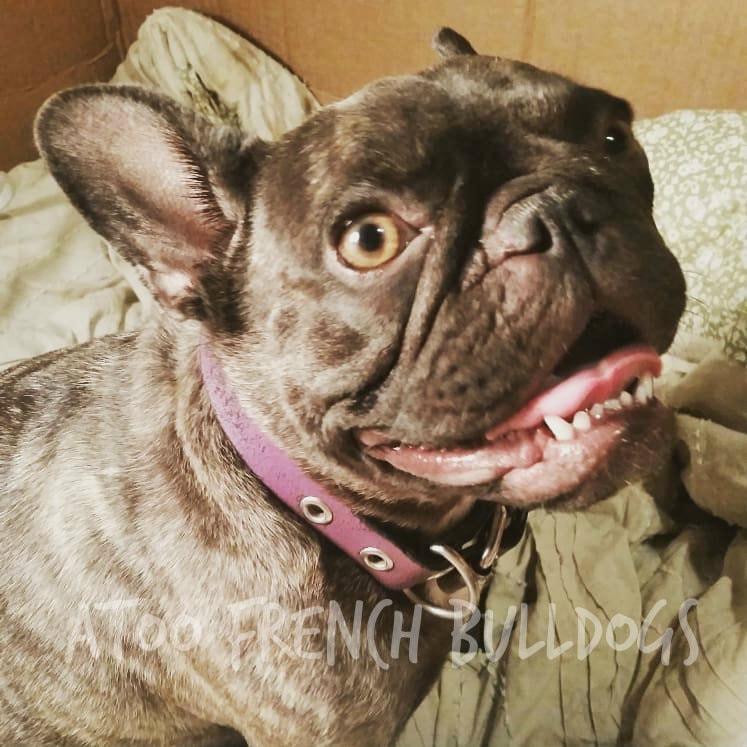 Rose Glen North Dakota ⁓ Try These French Bulldog C Section