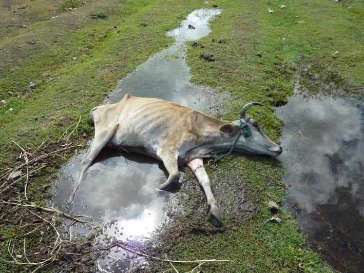 Maltraitance Des Animaux En Guadeloupe Mort En Direct D