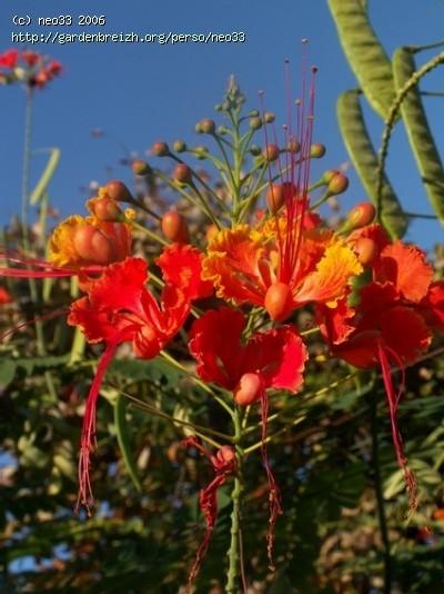 Flamboyant en Guadeloupe