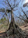 樹齢400年の樹海の木