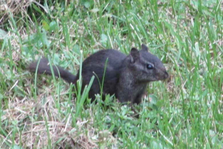 black chipmunks they do