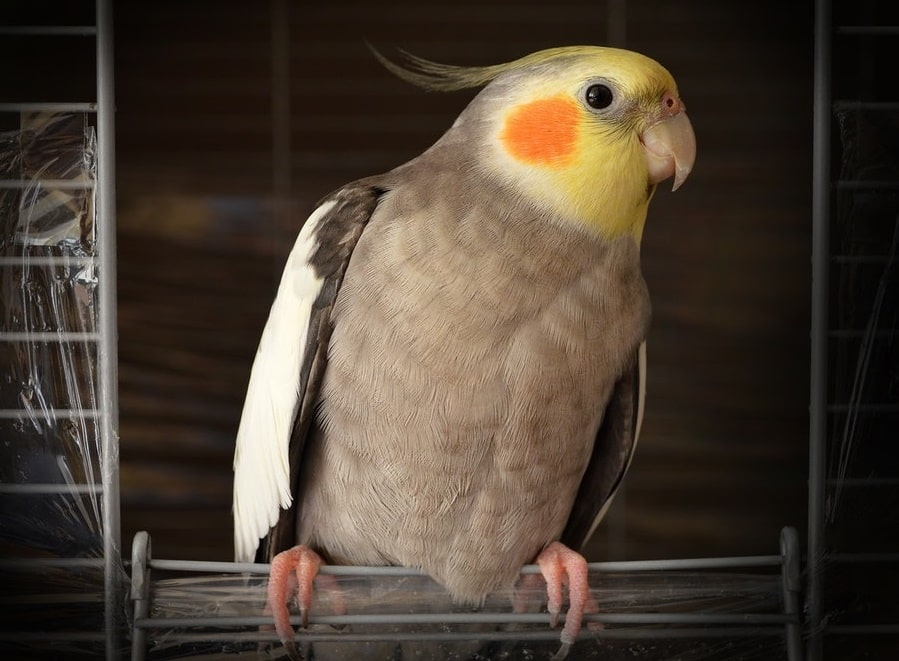 uccelli in gabbia come allestire la gabbia per uccelli
