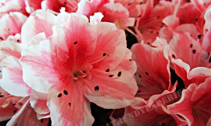 fiori da regalare azalea
