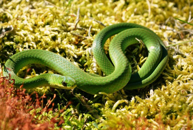Green Smooth Snake