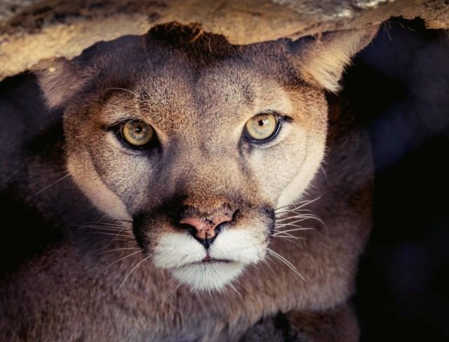 mountain lion_Fotor_Fotor