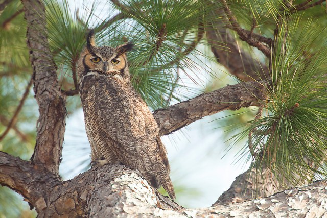 great_horned_owl_