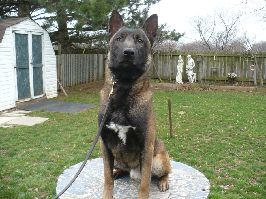 Trained Detection Dogs for Sale and Sold | ATS K9 Detection Dog