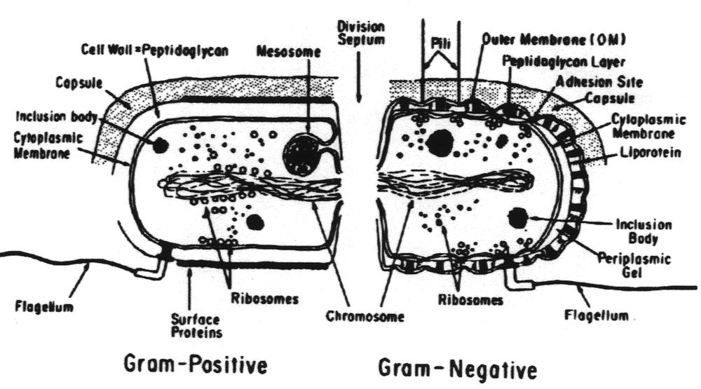 bacteria structure diagram orbit ceiling fan wiring dr tritz gram positive negative