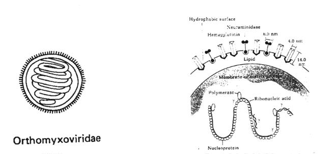 Dr. Tritz: viruses