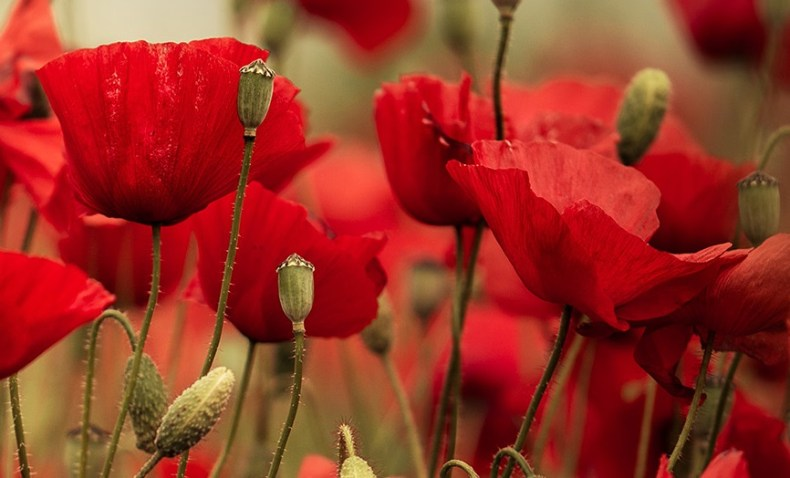 Poppies in ancient egypt field or corn poppy papaver rhoeas l is one of the frequently represented flowers in ancient egyptian art field poppies grew as weeds among ancient mightylinksfo