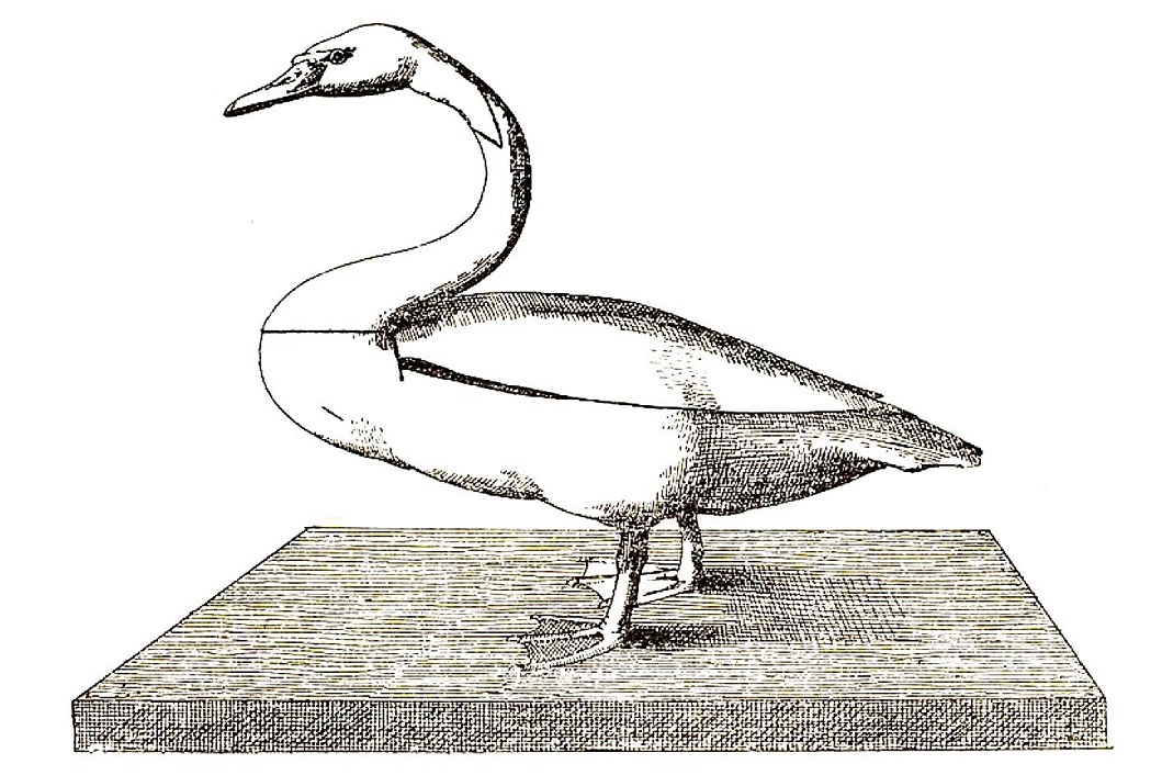 Swans In Ancient Egypt