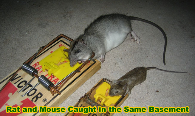 How To Get Rid Of Rats In Walls And Ceiling Uk