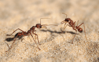 Kill Fire Ants In Carpet - Carpet Vidalondon