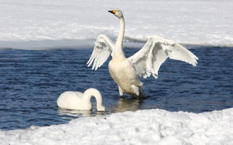 bewick_swan