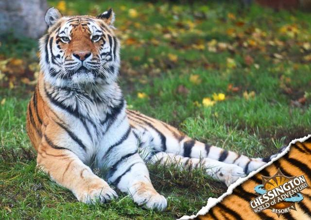 Chessington Tiger