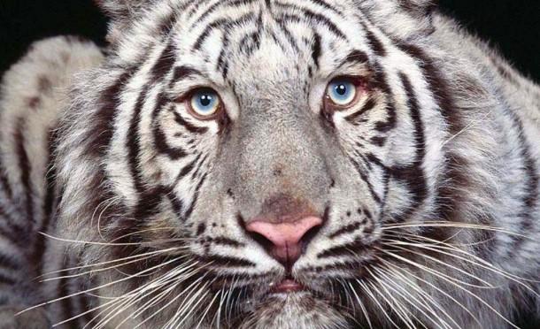 2015-Tigre-5
