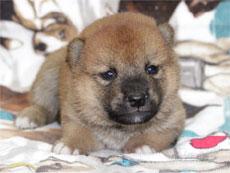 子犬サンプル写真