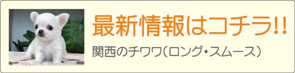 関西(近畿)チワワブリーダー最新子犬販売情報