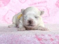 滋賀県(関西)マルチーズブリーダー子犬|2015.6.7生・ホワイト・メス|ID: 150624180343