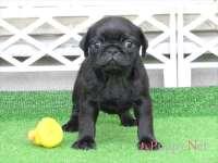 滋賀県(関西)パグ子犬 2015.7.9生・ブラック(黒パグ)メス ID:150831131758