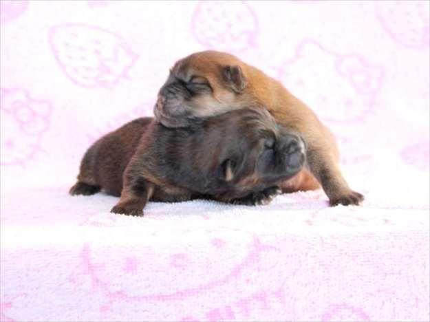 チャウチャウブリーダー子犬・レッド・メス