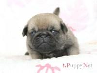 大阪府(関西)パグブリーダー子犬 2016.4.1生・フォーン・オス ID:160409153138