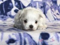 滋賀県(関西)マルチーズブリーダー子犬|2016.3.17生オス|ID: 160417080541