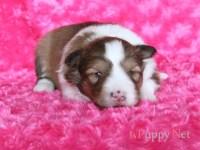 滋賀県シェットランドシープドッグ子犬|2018.1.30生セーブル&ホワイト・メス|ID:180207091331