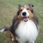 シェットランドシープドッグ(シェルティ)ブリーダー子犬販売情報