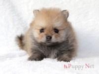 ポメラニアン子犬 2019.6.20生・オレンジ・メス 大阪府ブリーダー ID:190704110118