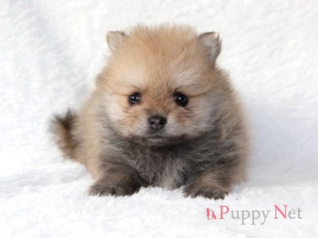 ポメラニアン子犬・メス