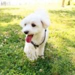 ミックス犬(ハーフ犬)ブリーダー子犬販売