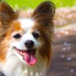 パピヨンブリーダー子犬販売