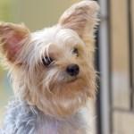ヨークシャーテリアブリーダー子犬販売