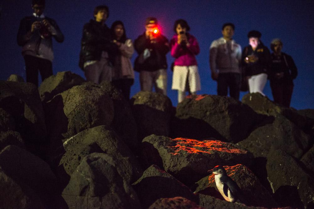 Les pingouins de St Kilda à Melbourne