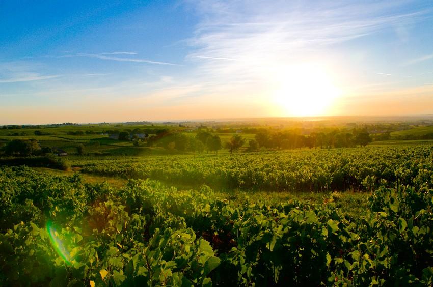 vignes d'Odenas, Beaujolais, Rhone Alpes, France