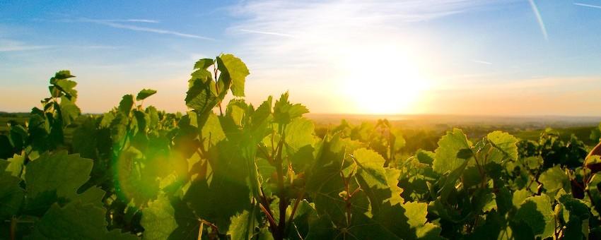 Les vignes à Odenas, dans le Beaujolais