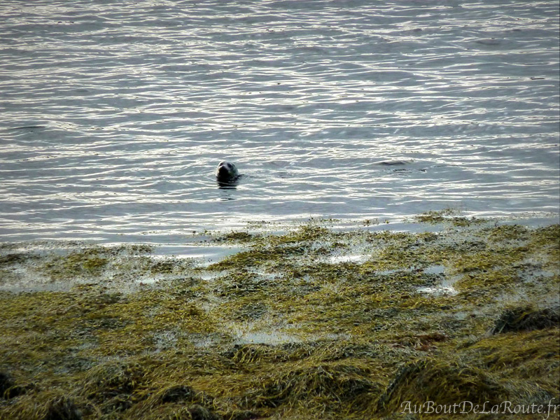 Un phoque dans le loch Dunvegan