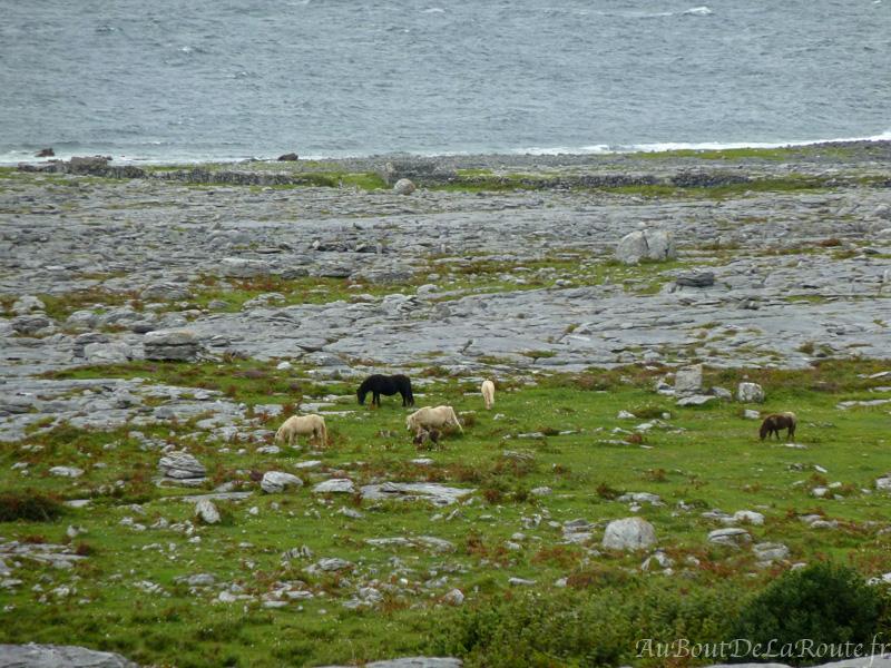 Chevaux du Burren