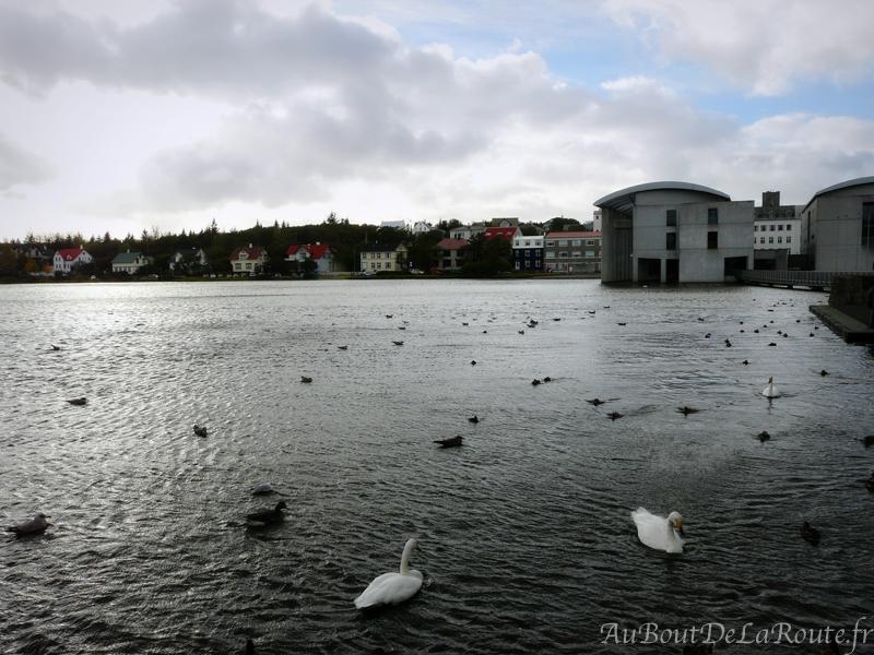 Cygnes et canards sur le lac Tjornin