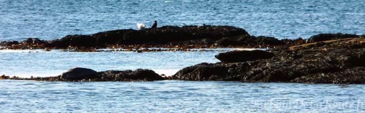Phoques noirs à Svalbarð