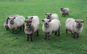 sheep looking at dog